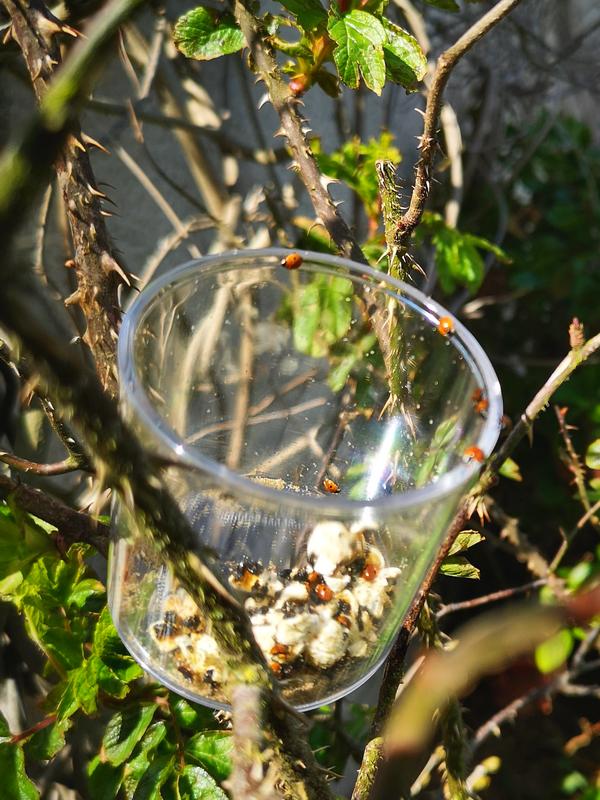 Libération de coccinelles dans un arbuste