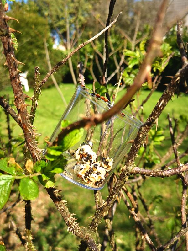 Libération de coccinelles dans la nature